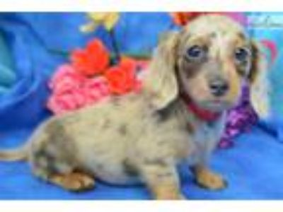 Bentley' BlueDappleLH Miniature Dachshund Puppy