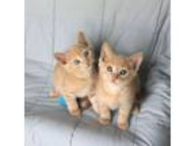 Adopt Sean & Timothy - Bond Kittens a Orange or Red Tabby Domestic Shorthair