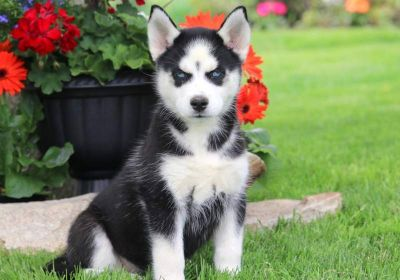 Siberian Husky PUPPY FOR SALE ADN-79248 - Siberian Husky Puppy For Sale