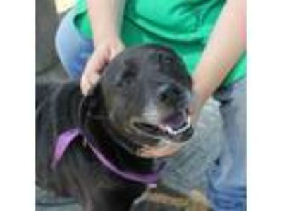 Adopt Franny a Australian Cattle Dog / Blue Heeler, Labrador Retriever