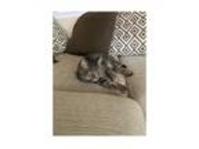 Adopt Zeus a Gray, Blue or Silver Tabby American Shorthair cat in Dacula