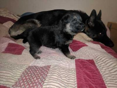 German Shepherd Dog PUPPY FOR SALE ADN-62267 - German Shepherd Puppies