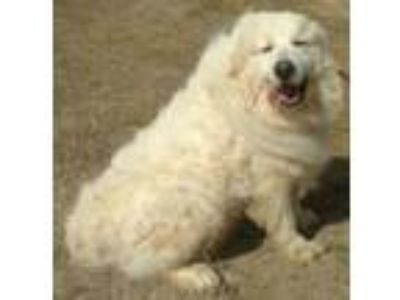 Adopt Duke a Great Pyrenees