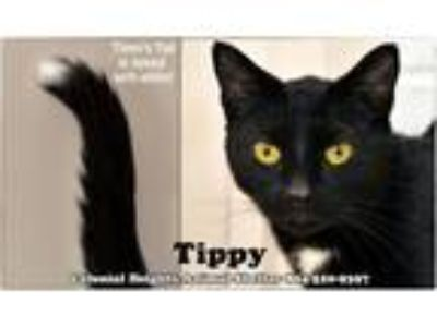 Adopt Tippy a Domestic Short Hair