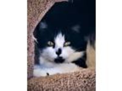 Adopt Jazzy a Black & White or Tuxedo Domestic Longhair / Mixed (long coat) cat