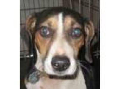 Adopt Eddie a Beagle