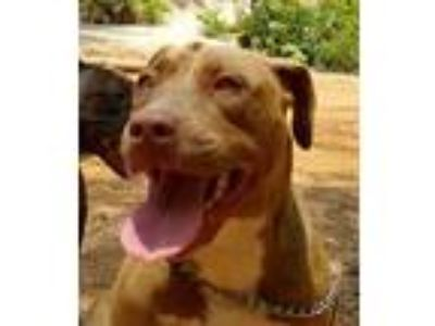 Adopt Saphira a Tan/Yellow/Fawn - with White American Pit Bull Terrier dog in