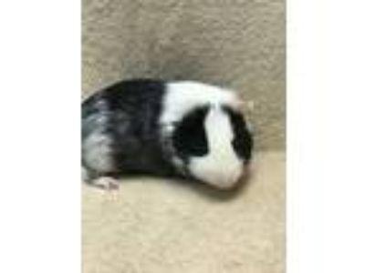 Adopt Quinn a Guinea Pig