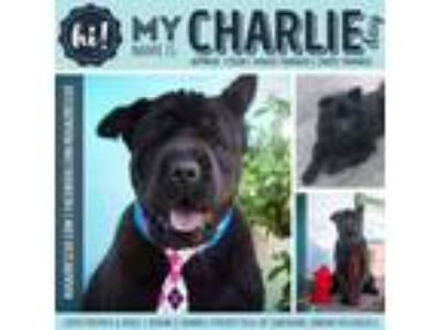 Adopt Charlie Day a Chow Chow