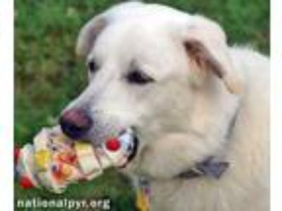 Adopt Snow in MA - Super Girl a Great Pyrenees