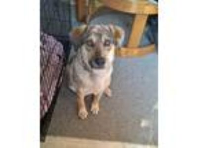 Adopt Sir Ector a Shepherd (Unknown Type) / Mixed dog in Alexandria