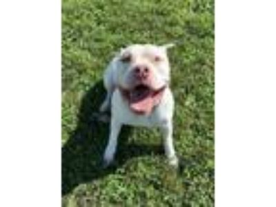 Adopt Gunther a White Mixed Breed (Large) / Mixed dog in Fallston, MD (25860619)