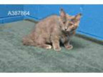 Adopt LILA a Gray or Blue Domestic Shorthair / Mixed (short coat) cat in St.