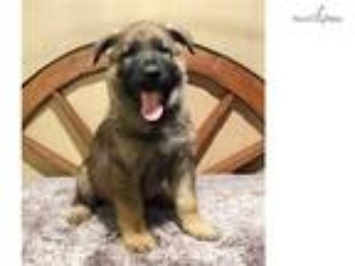 Beautiful Sable Male GSD Puppy-IPO3 Dad