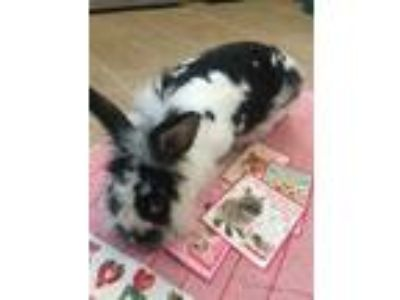 Adopt Pixie Bunny Wags a Lionhead