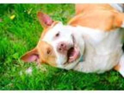 Adopt Max a Red/Golden/Orange/Chestnut - with White Akita / Mixed dog in