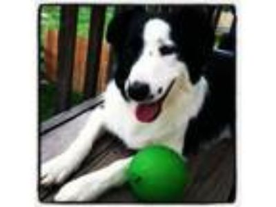 Adopt Echo a Border Collie