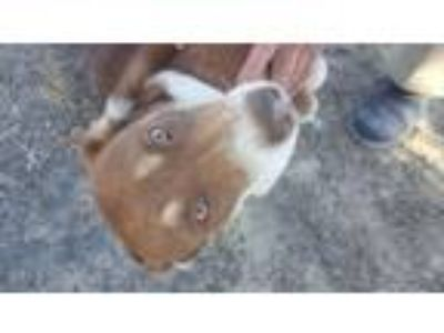 Adopt Dragonfly a Shepherd, Mixed Breed