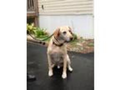 Adopt Rocky #4 a Tan/Yellow/Fawn Labrador Retriever / Mixed dog in Towson