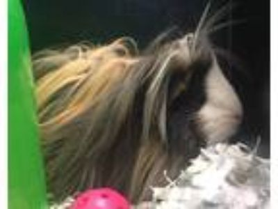 Adopt Winnie a Guinea Pig small animal in Golden, CO (25879052)