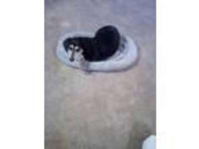 Adopt Lexi a Black - with White Dachshund / Mixed dog in Springfield