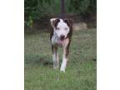 Adopt Chloe a Husky, American Staffordshire Terrier