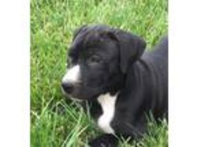 Adopt Gendry a Black - with White Labrador Retriever / Mixed dog in