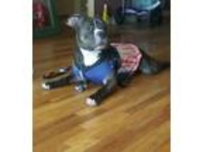 Adopt GUCCI a Brindle - with White Pit Bull Terrier / Mixed dog in New York