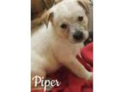 Adopt Piper a Labrador Retriever, Cattle Dog