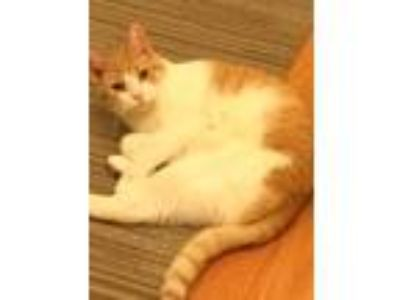Adopt Mimi a Orange or Red Tabby Calico cat in Clifton Park, NY (25517837)