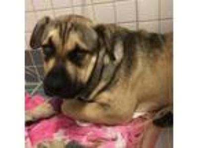 Adopt Tork a German Shepherd Dog