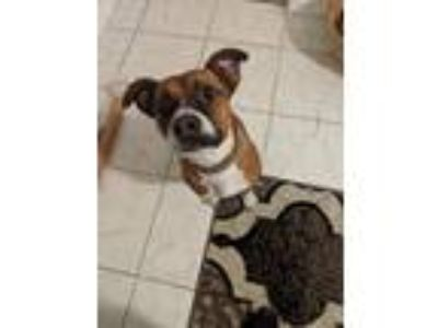 Adopt Ezra a Brown/Chocolate - with White Boxer / Terrier (Unknown Type