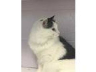 Adopt Bella a White Domestic Longhair / Domestic Shorthair / Mixed cat in