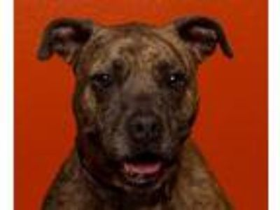 Adopt Pepper Louise a Pit Bull Terrier