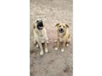Adopt Chief a Tan/Yellow/Fawn German Shepherd Dog / Great Pyrenees dog in