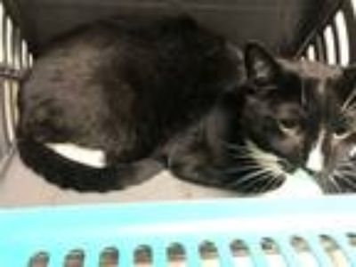 Adopt Wiskey a Domestic Shorthair / Mixed (short coat) cat in New York