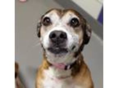 Adopt Gaga a Brown/Chocolate Terrier (Unknown Type, Small) / Beagle / Mixed dog