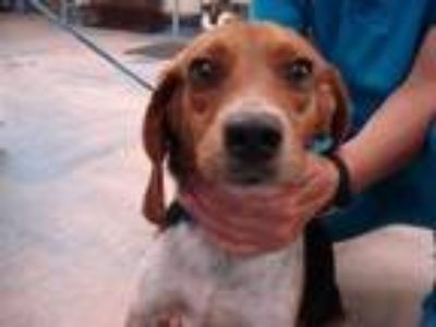 Adopt Deputy Dawg a Tan/Yellow/Fawn Beagle / Mixed dog in Inverness