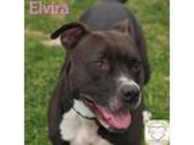 Adopt Elvira a Pit Bull Terrier / Mixed dog in Washburn, MO (21114891)
