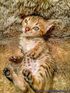 Perfect markings bengal Kittens