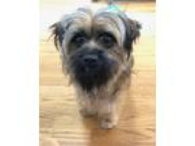 Adopt Jackson a Tibetan Terrier, Mixed Breed