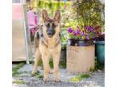 Adopt Essence a German Shepherd Dog