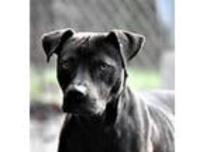 Adopt EARL URGENT FOSTER NEEDED a Black - with White Labrador Retriever /