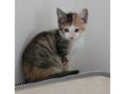 Adopt Pebbles - Avail NOW - CT a Domestic Short Hair