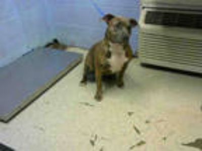 Adopt MIKA a Brindle American Pit Bull Terrier / Mixed dog in Atlanta