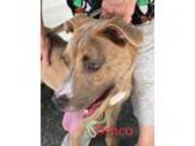 Adopt Draco a Brindle Boxer / Pit Bull Terrier / Mixed dog in Middletown