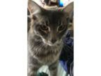 Adopt Graybee a Gray or Blue (Mostly) Domestic Longhair cat in Santa Clara