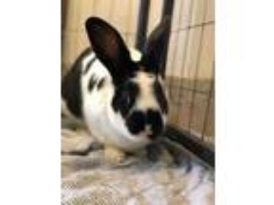 Adopt ARUGALA a Black Other/Unknown / Mixed rabbit in Grand Prairie