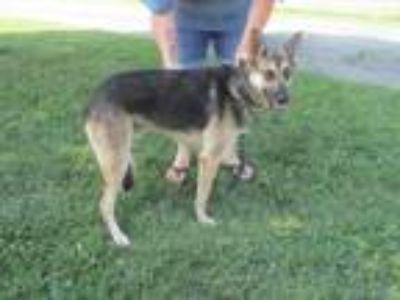 Adopt General a German Shepherd Dog