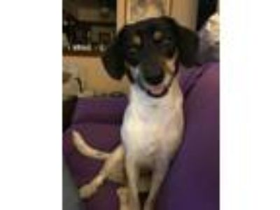 Adopt Juno a White - with Black Jack Russell Terrier dog in Milwaukee